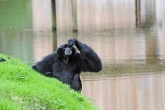 Siamang im Zoo de Trégomeur