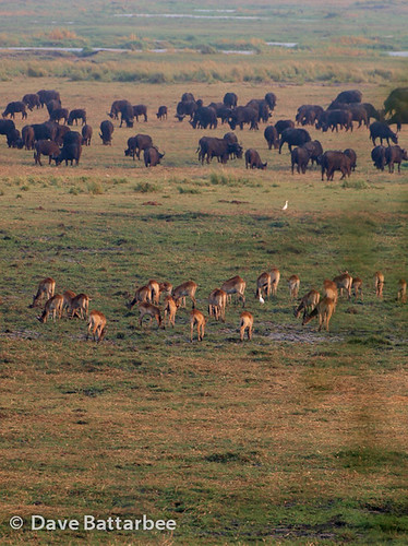 Buffalo and Red Lechwe Herds