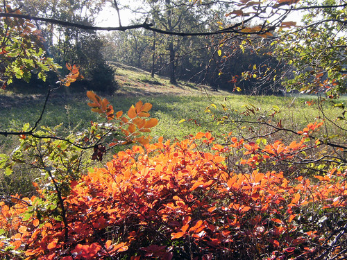 cotinus coggygria - scotano- smoke tree