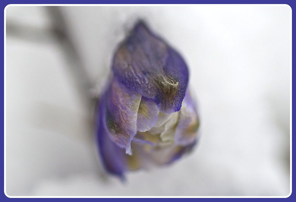 Delphinium bud