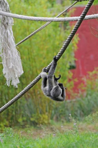Nördlicher Weißwangen-Schopfgibbon im Zoo de Trégomeur