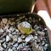 Conophytum minium 'Witteburgense'