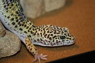 Leopard Gecko Substrate - ClubFauna