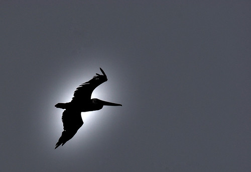Bird in Flight by robmercier00