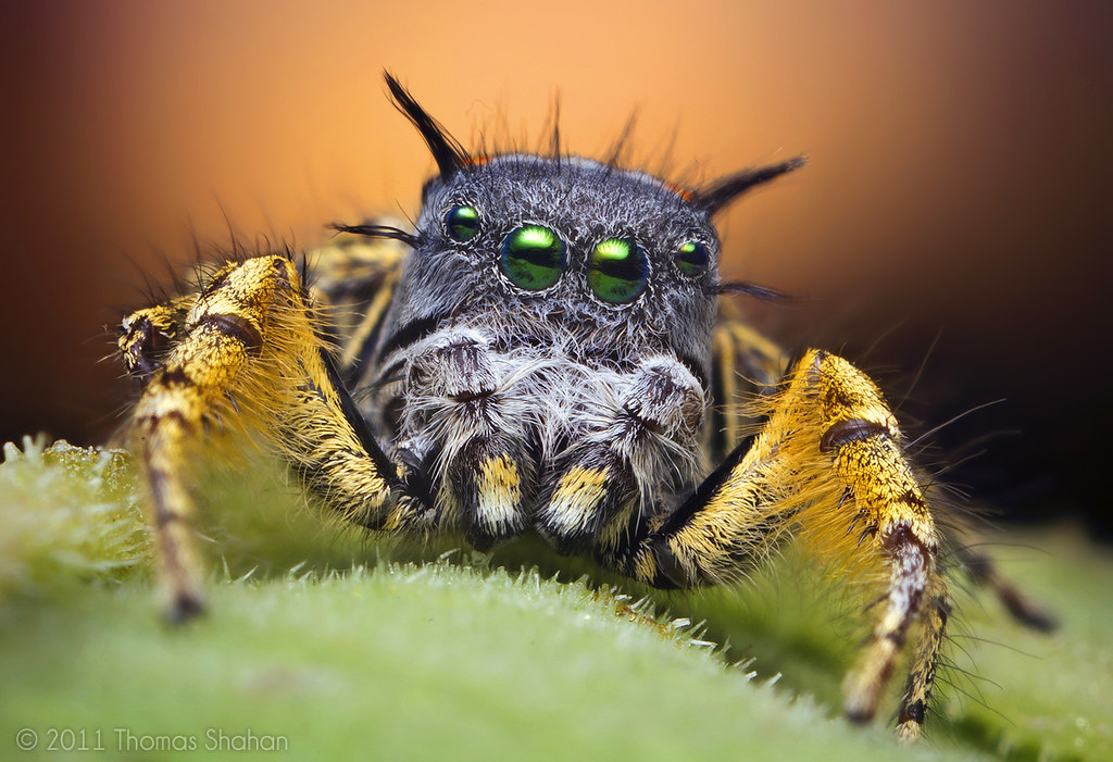 Adult Male Jumping Spider at Sunset - Phidippus mystaceus