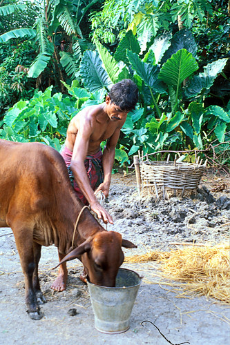 Livestock and aquaculture at work, Bangladesh. Photo by Ebbe Schioler, 2002