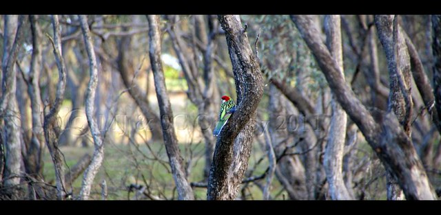 Eastern Rosella out West