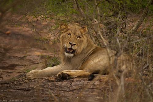 Adolescent Male Lion