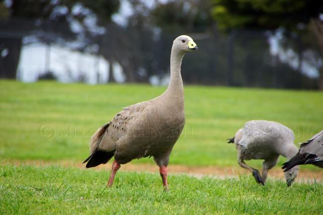 Cape Barron Goose #photography