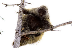 Porcupine belly 4155