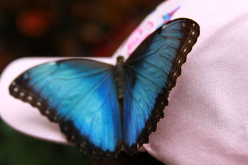 blue morpho butterfly: niagara falls butterfly conservatory