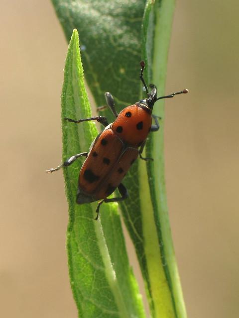 Ironweed Curculio (Rhodobaenus tredecimpunctatus)