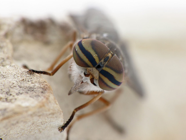 Female horse fly 1
