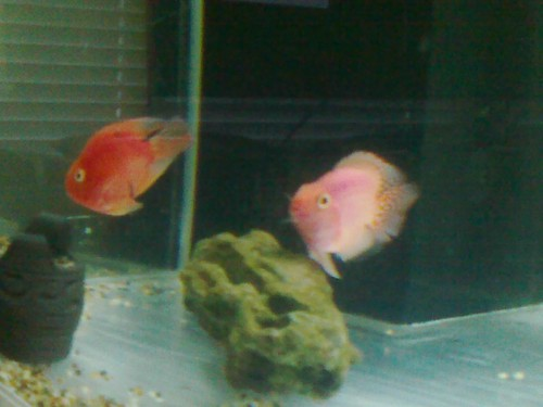 My Parrot fish pair