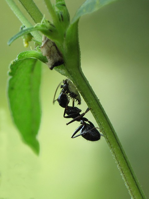 Eastern black carpenter ant  (Camponotus pennsylvanicus), tending to membracid nymph