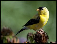 Goldfinch on cone flower 2