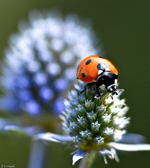2569. Ladybird and Sea Holly