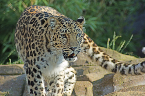 Amur Leopard (Panthera pardus), Colchester Zoo