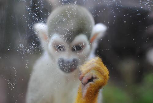 monkey behind glass