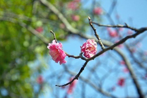 A Plum Tree in Bloom
