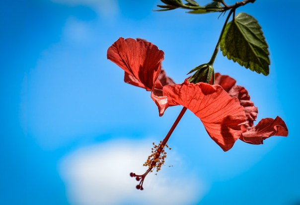 Hibiscus and sky