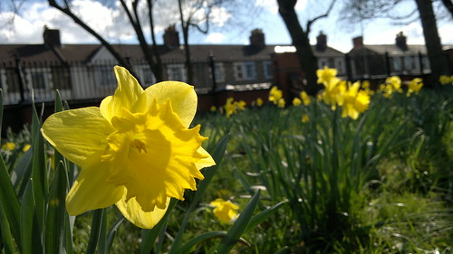 Daffodils - GWR Park, Farringdon Road, Swindon by TempusVolat