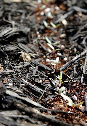 20120325. Baby beets.