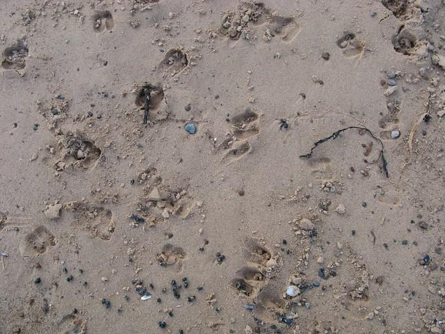 Roe deer prints on the beach
