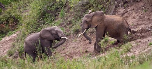 African Elephants Play-Fighting