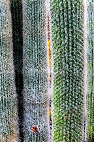 Chapter 9 - Lanzarote, Jardín de Cactus - (#9): Cotton candy