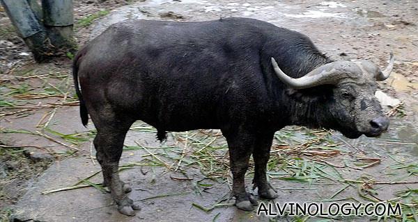 Close-up of a water buffalo