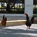 Hey, chicken