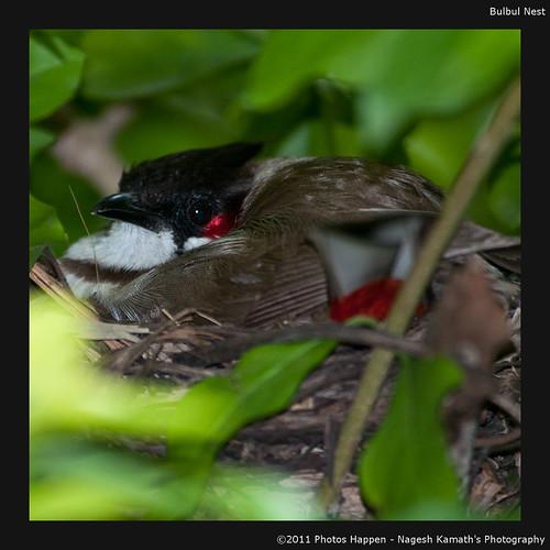 Bulbul Nest