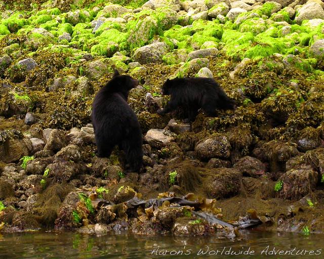 Wild Bears!