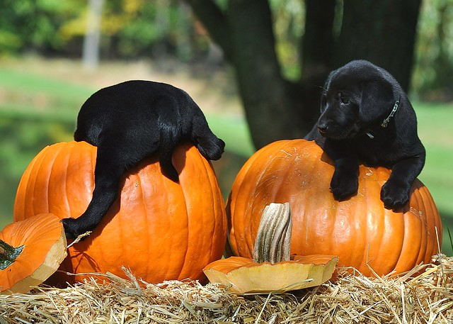 Labs In The Fall Desktop Wallpapers Puppies And Pumpkins Flickr Photo Sharing