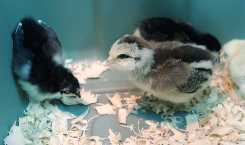 20120328. Big day - cleaning out the brooder.