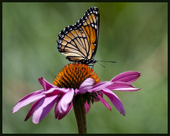 Viceroy on cone flower 8