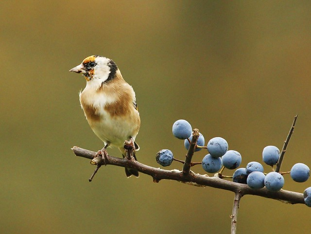 Goldfinch | Flickr - Photo Sharing!