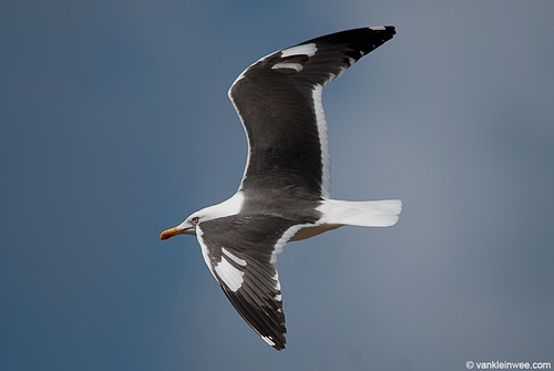 Lesser Black-backed Gull (L.f. graellsii), leucistic wing coverts