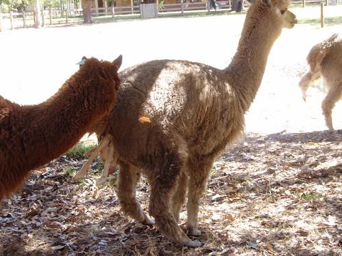 Alpaca in stage 2 labour