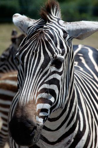 zebra, toronto ontario canada