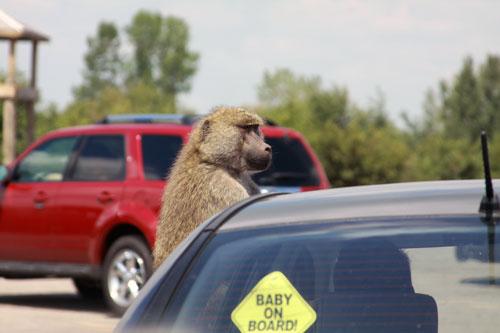 baboon on a car, toronto ontario canada