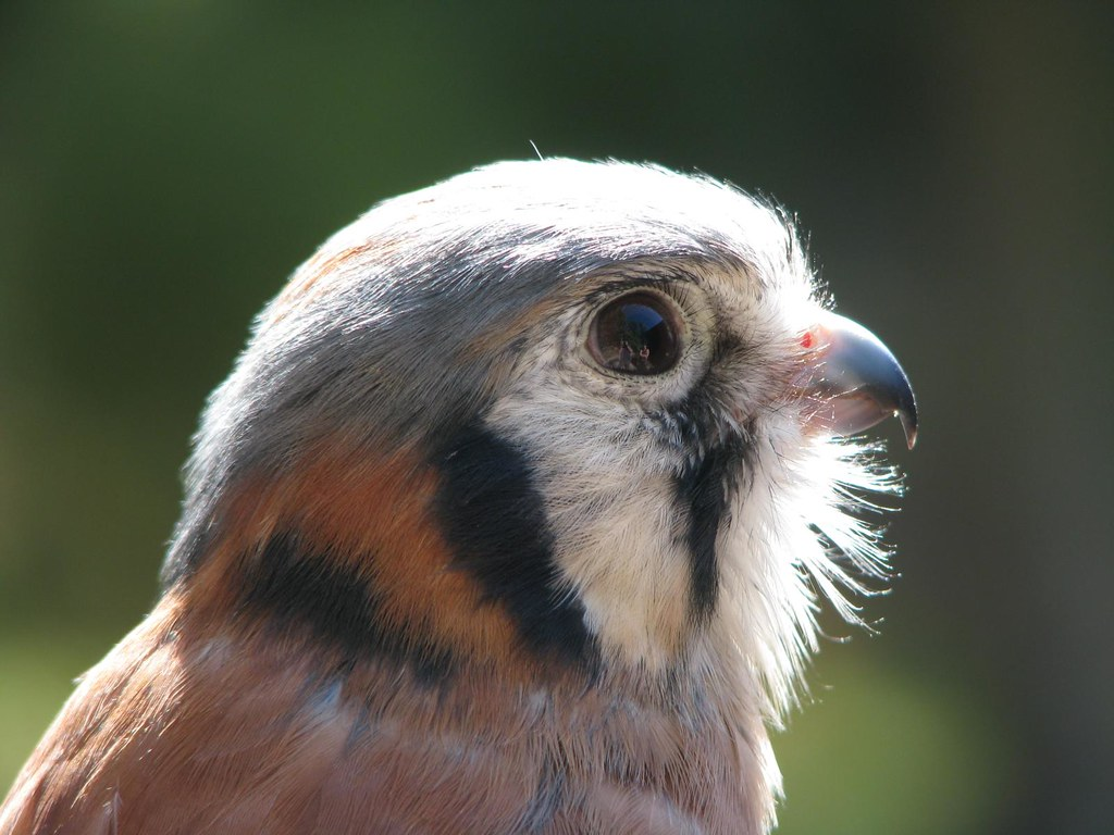 Patrick the American Kestrel