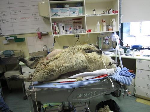 hernia repair in sheep