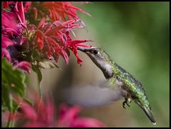 Female ruby-throated hummingbird at Beebalm 2