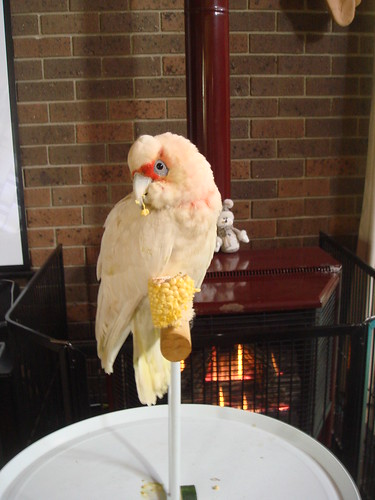 Jerry baby long billed corella i nursed to health