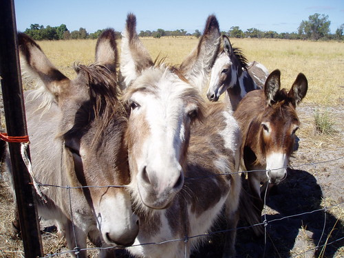 Irish miniature donkeys at alpaca stud