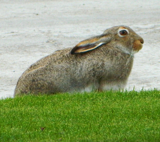 Bunny Rabbit On Driveway