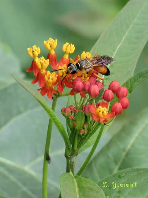 Butterfly Weed & A Wasp