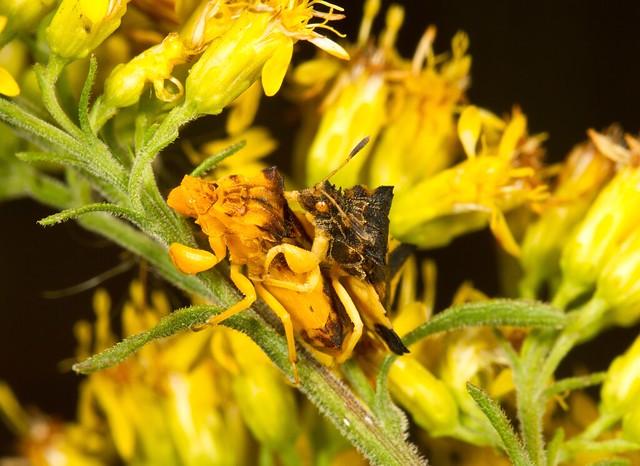 Jagged Abush Bugs mating